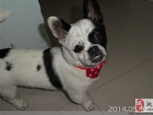 一條大耳朵,海盜臉的黑白色小狗丟失。。。