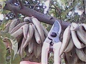 猪牙皂树苗皂角