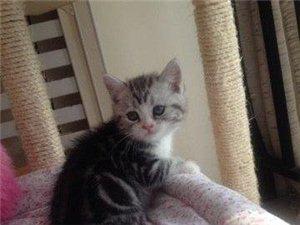 粉鼻加白美短貓找新家。