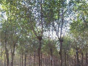 长期大量供应国槐香花槐金叶榆