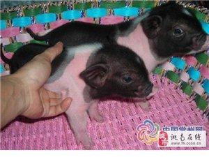 出售寵物豬