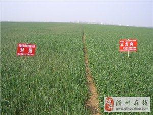 能给农民种植小麦每亩增产30%产量的有机微生物菌肥