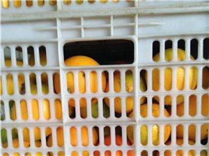 高价大量收购脐橙次果
