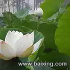 南斯拉夫雪莲藕种