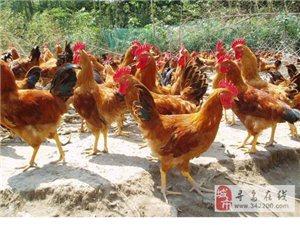 自家果园老公鸡