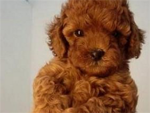 红色泰迪犬无人照顾转让