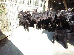 黑山羊种羊出售