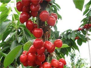 大量供應吉塞拉6號矮化多品種優質大櫻桃苗