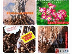 新奇樹種紅花紅果-比利時紅花山楂苗