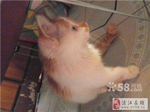 长毛黄白公猫