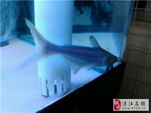 出虎头鲨三条,有兴趣来捞鱼