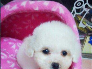 出售家养纯种狗狗约克夏,比熊,泰迪,会陆续上照片