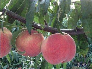 桃树优良品种