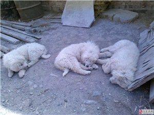 出售純種原生獅頭雪獒及幼崽!對外配種