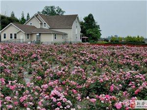 创业好项目。专注玫瑰,百年丰华