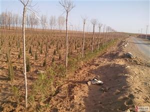 出售本地培育花灌木苗、各類綠化苗木