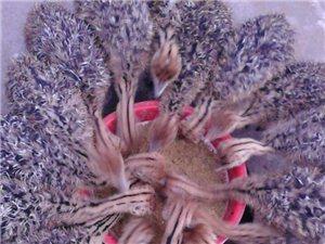 邹城牧科珍禽养殖场预售2015年非洲鸵鸟苗