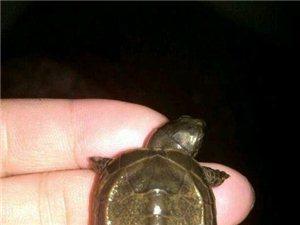 非常靓的墨龟苗呀