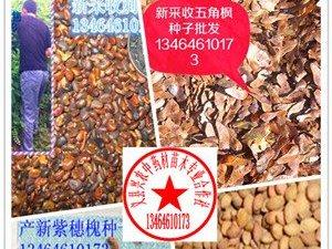 刺槐種子五角楓種子櫻桃種子紫穗槐種子出售