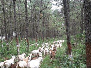 绿色养殖山羊出售