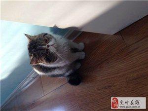 虎斑加白加菲貓