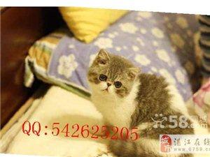 不怕陌生人的加菲猫求收养