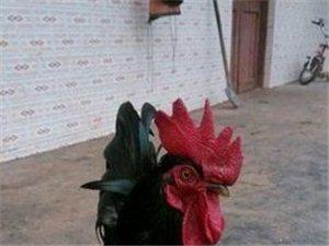 觀賞雞便宜出售了