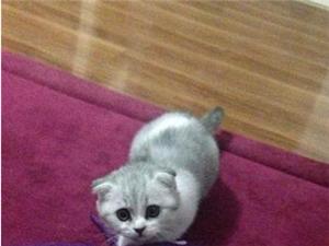 自家養的一只折耳貓貓不收錢的圖和好心人