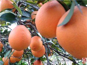 自家大型果園專業自產自售贛南紐荷爾臍橙
