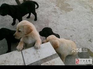 纯种拉布拉多幼犬出售