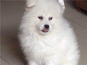 萨摩耶小公狗