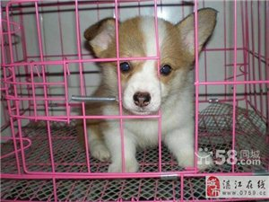 超萌小短腿英女皇最爱柯基幼犬狗场纯种繁殖