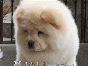英系高品质松狮犬 包纯种健康 酷睿狗场欢迎上门