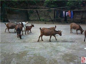 生态土羊出售