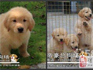 出售纯种金毛幼犬 赛级品相 健康保证假一赔十签协议