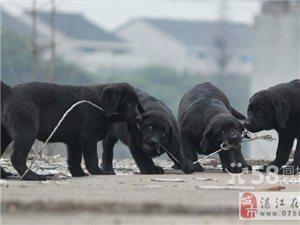 纯种拉布拉多犬 赛级拉布拉多犬 价格优惠