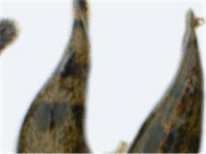 出售纯野生无污染泰国笋壳鱼