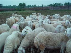 小尾寒羊、杜泊綿羊急需出售