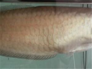 出售中華上古銀龍魚兩條35000送魚缸