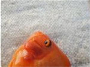 鸚鵡魚歡迎您購買