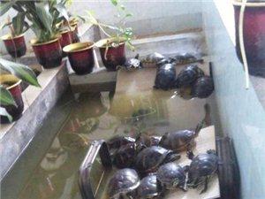 几组红肚火焰种龟