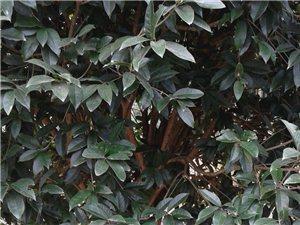 4-10公分直径桂花树、红豆杉大量出售
