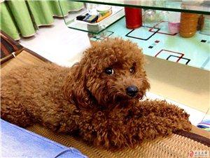 本人在1月5日丢失泰迪犬一条