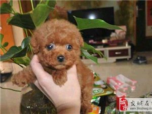交城给泰迪熊寻找新主人