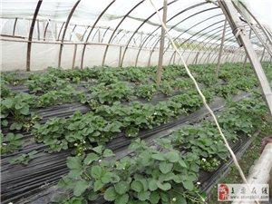富林草莓采摘
