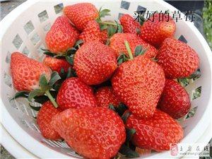 奶油草莓采摘
