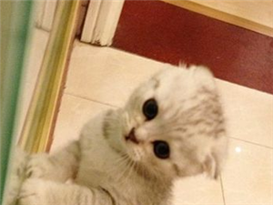 家有可爱会逗人开心的折耳猫,希望好心人领养