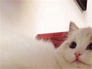 非常可爱的布偶猫等着被领养