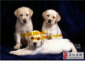北京直銷,可發貨,可視頻看狗,直接上門看狗