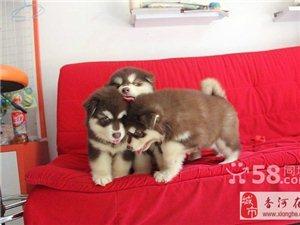 威武 強壯 最具魅力的阿拉斯加犬